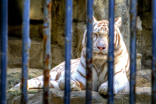 An Unhappy tiger at Seoul Zoo