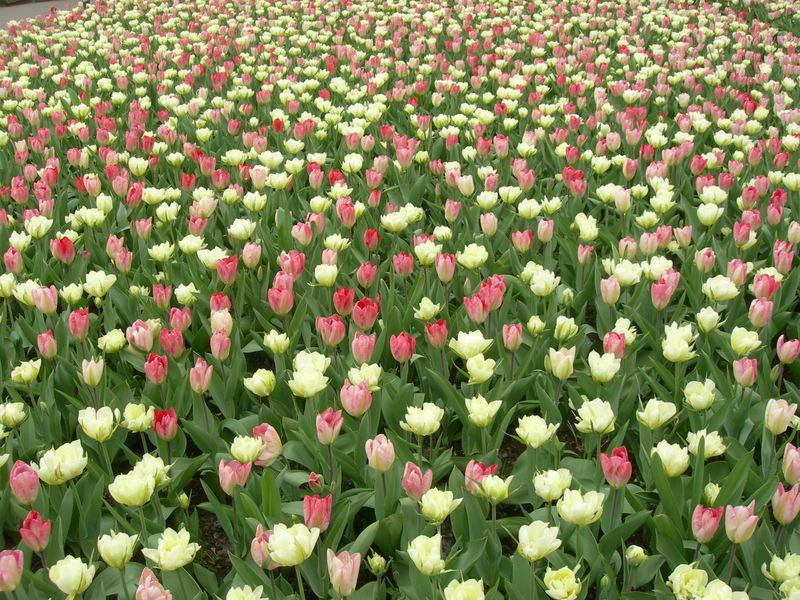 A kaleidoscope of color - Holland's Tulip Fields (4/6)