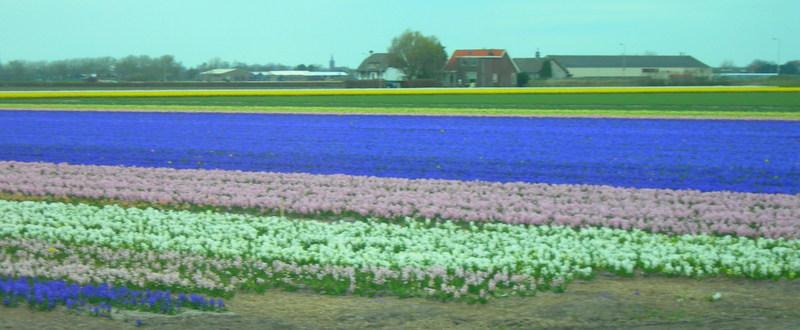 A kaleidoscope of color - Holland's Tulip Fields (2/6)