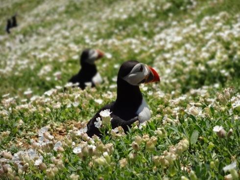 puffins flowers ireland