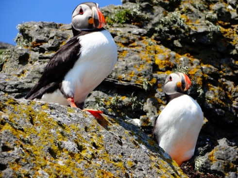 puffins ireland kerry
