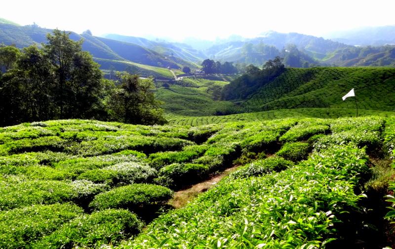 tea plantation cameron highlands