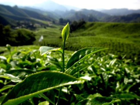 tea plantation bali