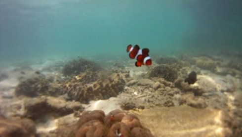 clown fish nemo