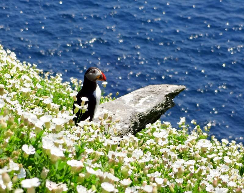 skellig michael puffins